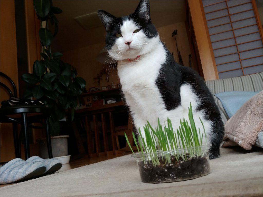 ネコ草を目の前に、冷たい目でこちらを睨むニャンちゃん