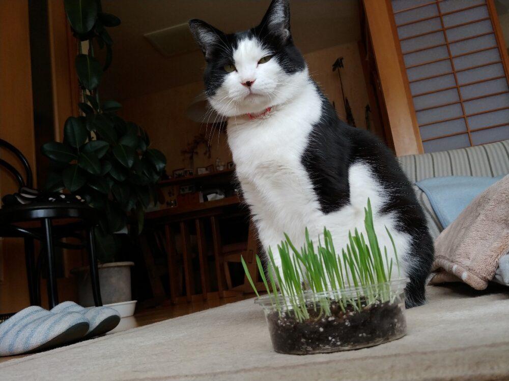 ネコ草にまったく興味を示さないニャンちゃん・・・!